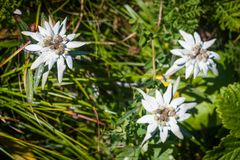 Rebun Island Edelweiss Leontopodium discolor Group. Rare Rebun Island Edelweiss Leontopodium discolor is one of the floral highlights of this small island in the Royalty Free Stock Photo
