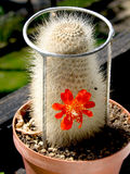 Rebutia Royalty Free Stock Image