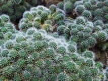 Free Rebutia Cactus (Rebutia Albiflora) Royalty Free Stock Photography - 78557897