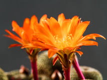 Rebutia Heliosa Stock Photography