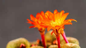 Rebutia Heliosa Royalty Free Stock Images