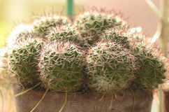 Rebutia kaktus Arkivbild
