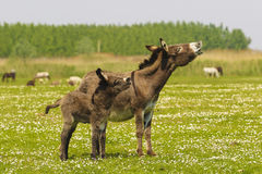Rebuzno de los burros de la madre y del bebé imagen de archivo