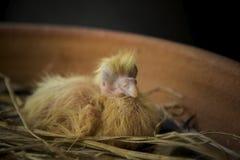 Recém-nascido do pássaro do pombo no ninho home fotos de stock
