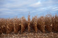 Receding rows of dry maize plants ready to harvest Stock Photos