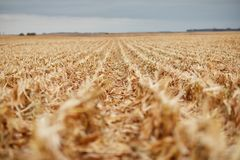 Receding rows of maize stubble during harvesting Royalty Free Stock Image