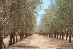 Receding Rows of Olives Stock Images