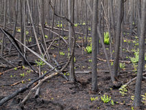 Recent burn of boreal forest Royalty Free Stock Photos