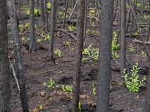 Recent burn of boreal forest Stock Photo