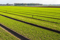 Recent sown plants in the field of a horticultural farm. Recent sown plants in long beds in the field of a horticultural farm in the Netherlands. It is Stock Photos