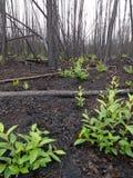 Recente brandwond van boreaal bos stock afbeeldingen