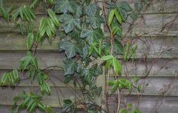 Recente dalings achtergrond oude donkere houten Klimopwijnstokken van klimop groene bladeren Stock Fotografie