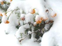 Recente die sneeuw met sneeuw bloeiende bloemen wordt behandeld Stock Fotografie