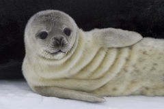 Recently born pup Weddell seal 1. Recently born pup Weddell seal lying near the female 1 Royalty Free Stock Photography
