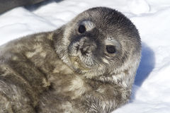 Recently born pup Weddell seals which lies Stock Image
