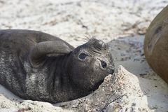 Southern Elephant Seal pup Stock Photos