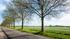 Recently budding trees in a long row beside a country road Stock Photo