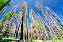 A recently burned forest at Yosemite National Park Royalty Free Stock Photos