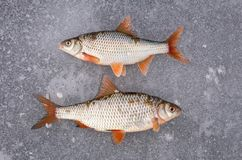 Recently caught fish lying on ice. stock photo