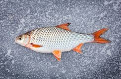 Recently caught fresh fish lying Royalty Free Stock Photography