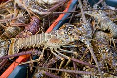 Recently caught spiny lobster. Spiny lobster recently coast off Yucatan coast in Mexico Stock Images