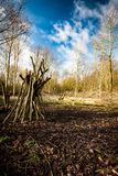 Recently coppiced open woodland. Recently coppiced broad-leaved woodland with large open glade, stands of cut wood, brash and chipping Royalty Free Stock Images