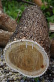 Recently Cut Log 1 Royalty Free Stock Images