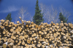 Recently cut logs Royalty Free Stock Photography