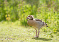 Recently Fledged Egyptian Gosling Stock Image