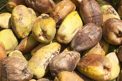 Recently harvested coconuts Royalty Free Stock Photos