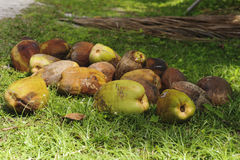 Recently harvested coconuts Stock Photo