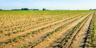 Recently planted celery plants in converging rows Royalty Free Stock Images