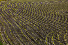 Recently planted corn in furrows. Recently planted corn plants in curving furrows Stock Photo