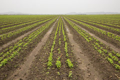 Recently Planted Crop of Beans Royalty Free Stock Photo
