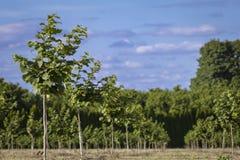 Recently Planted Hazelnut Filbert Orchard stock image
