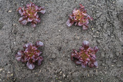 Recently planted Red Lettuce plants from above Stock Photography