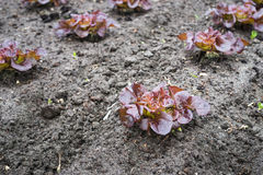 Recently planted Red Lettuce plants from close Royalty Free Stock Photo