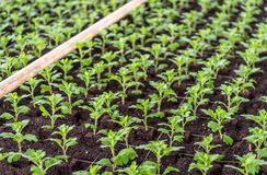 Recently planted small chrysanthemum cuttings. Closeup of recently planted small chrysanthemum cuttings in the greenhouse of a specialized Dutch chrysanthemum Royalty Free Stock Photo