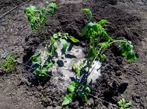 Recently planted tomato bushes are abundantly flooded with water Royalty Free Stock Photo