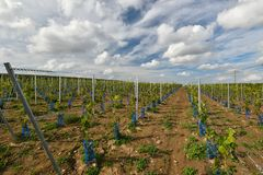 Recently planted vineyard Royalty Free Stock Photos