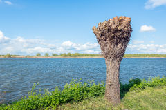 Recently pollarded willow on the banks of a river Royalty Free Stock Photo