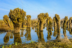 Recently pruned irregularly shaped willow trees in the water Stock Photography