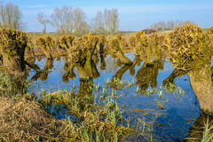 Recently pruned irregularly shaped willow trees in the water Royalty Free Stock Photography