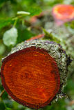 Recently sawed tree trunk orange cross section. In woods in Keswick, UK Royalty Free Stock Images