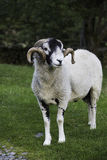Recently shorn Herdwick ram Stock Photo