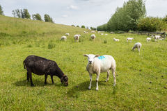 Recently shorn sheep in the meadow. A black ewe grazing and a marked white sheep looking curiously to the photographer in a pasture next to an on a somewhat stock images