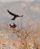Recepción entre cormoranes fotos de archivo libres de regalías