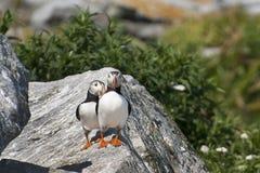 Recepción de los pájaros del frailecillo atlántico Fotografía de archivo