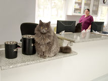 Recepcionista del gato Foto de archivo libre de regalías