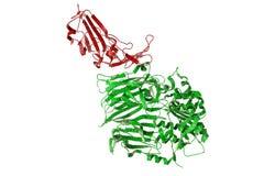 Receptor av Mellanöstern den respiratoriska viruset stock illustrationer